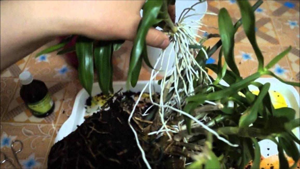 Орхидея дендробиум: варианты ухода и размножения в домашних условиях - pocvetam.ru