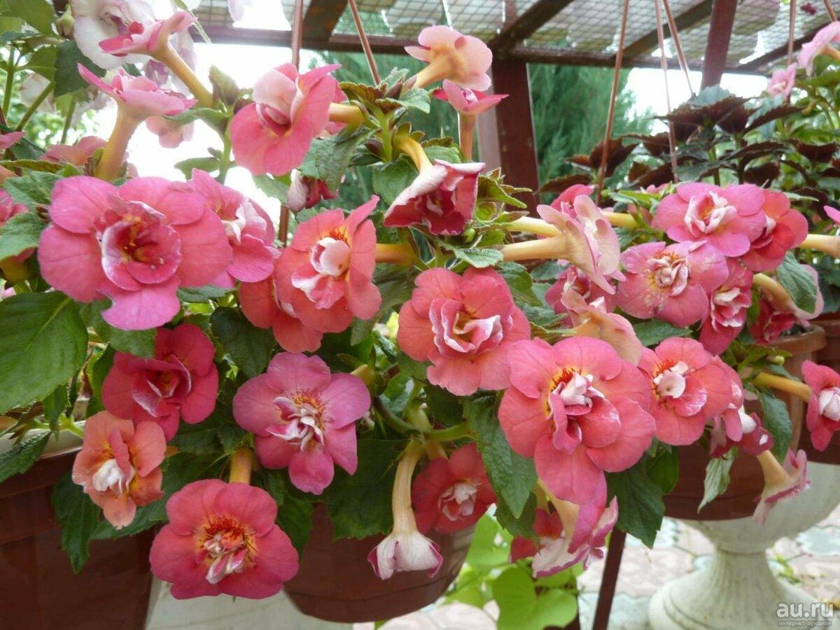 Ахименес цветок — как выращивать растение