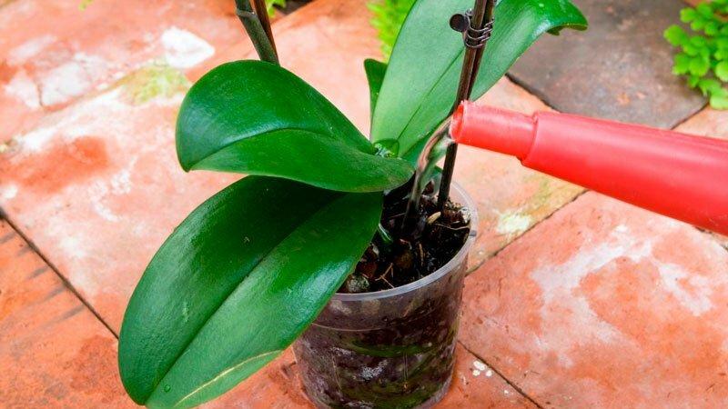 Полив замиокулькаса в домашних условиях: как часто летом, сколько раз в неделю