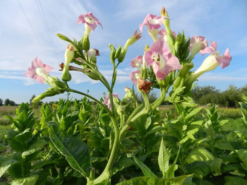 Табак курительный: выращивание семенами в открытом грунте, фото, сбор и хранение