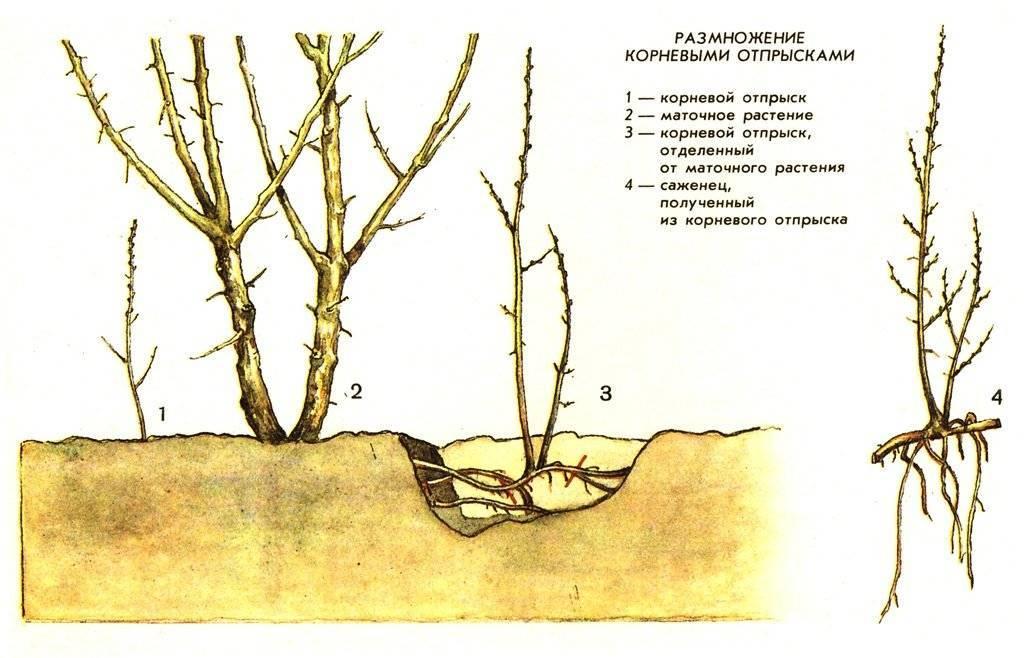 Правила посадки и ухода за спиреей вангутта в открытом грунте: обрезка, размножение