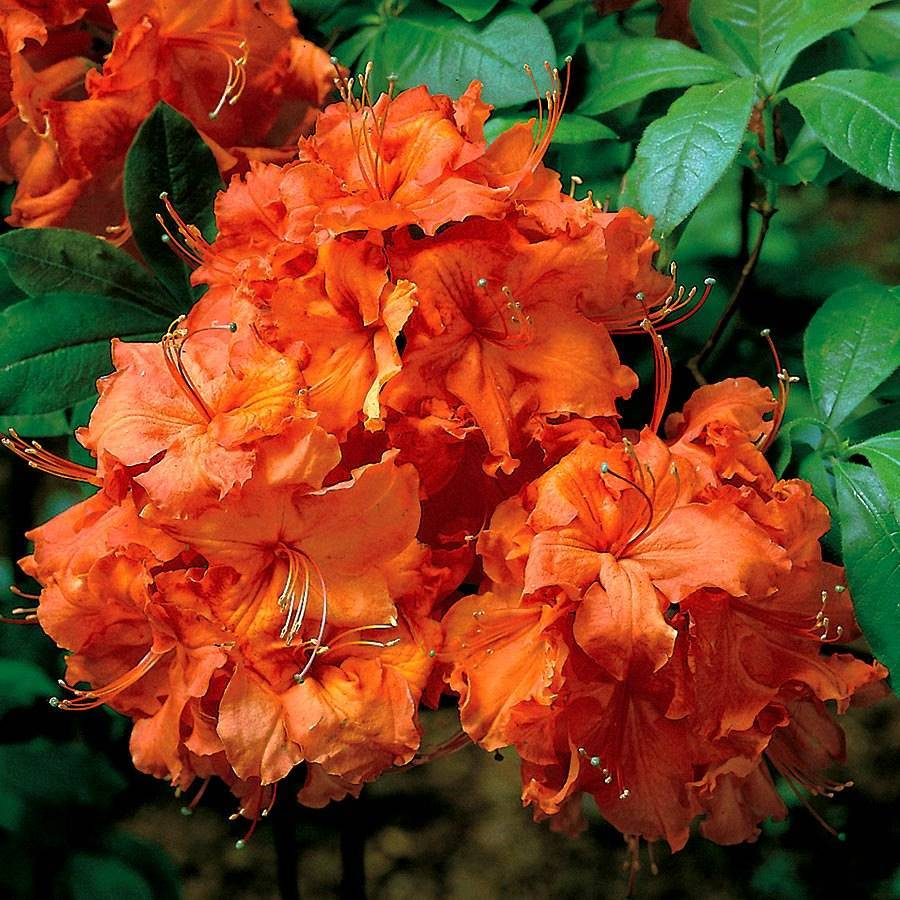 Рододендрон гибридный: характеристика кальсап, аннеке, энн линдсей, гааги и прочих подсортов азалии, описание посадки и ухода за растением, фото видов цветка