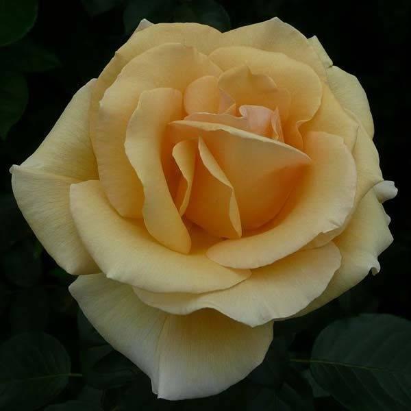 Описание роз: все о видах, формах и окраске цветков, листьев и плодов