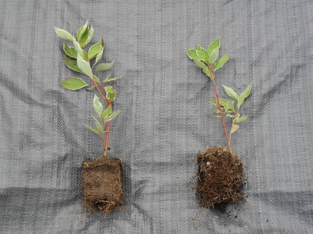 Дерен деление куста. посадка и уход за дереном белым. видео: опыт выращивания дёрена пестролистного
