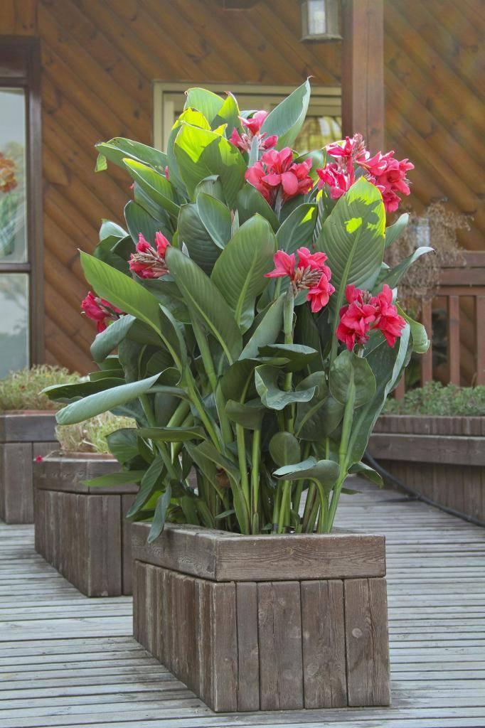 Канны - цветы, выращивание в саду: посадка, полив, размножение