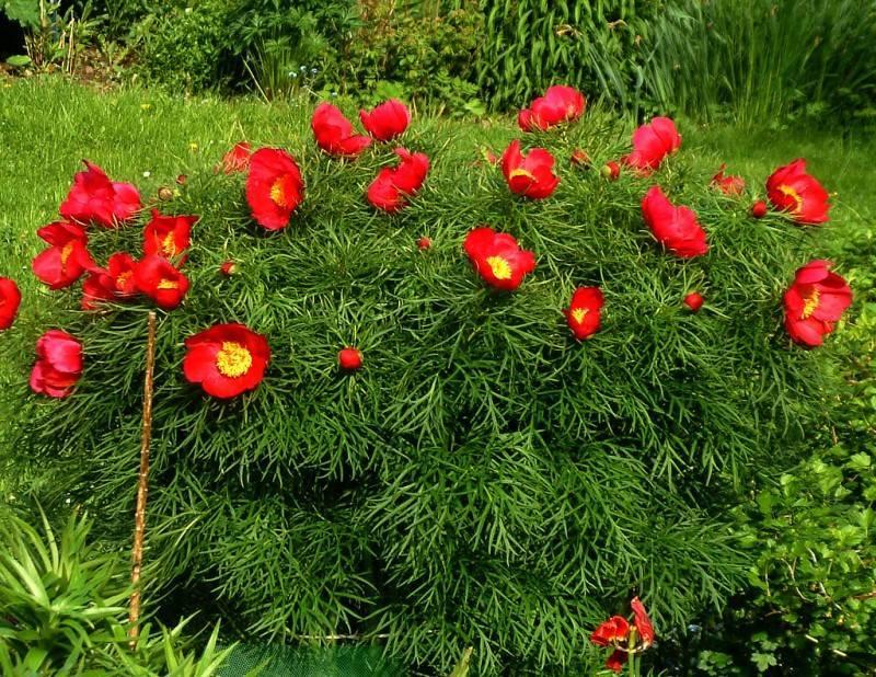 Пион тонколистный (paeonia tenuifolia) — посадка и уход в открытом грунте