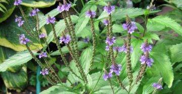 Вербена: фото цветов красивого растения для открытого грунта, на что похож запах, где растет, однолетний или многолетний?