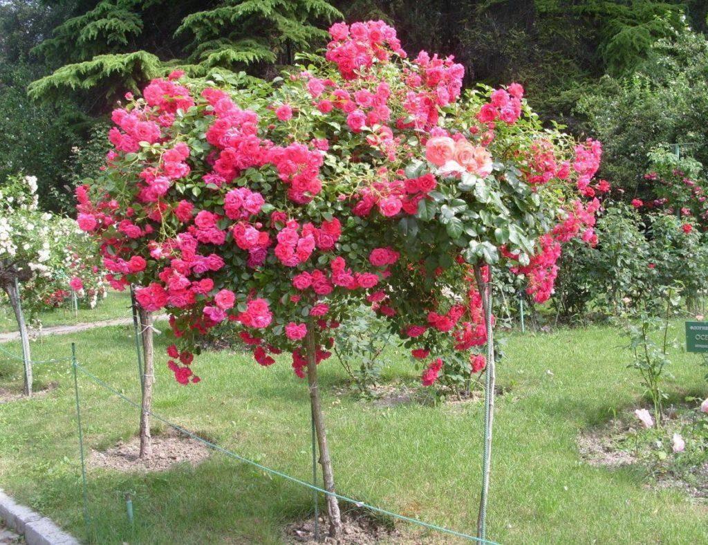 Роза свитнесс (sweetness) — описание сортового куста