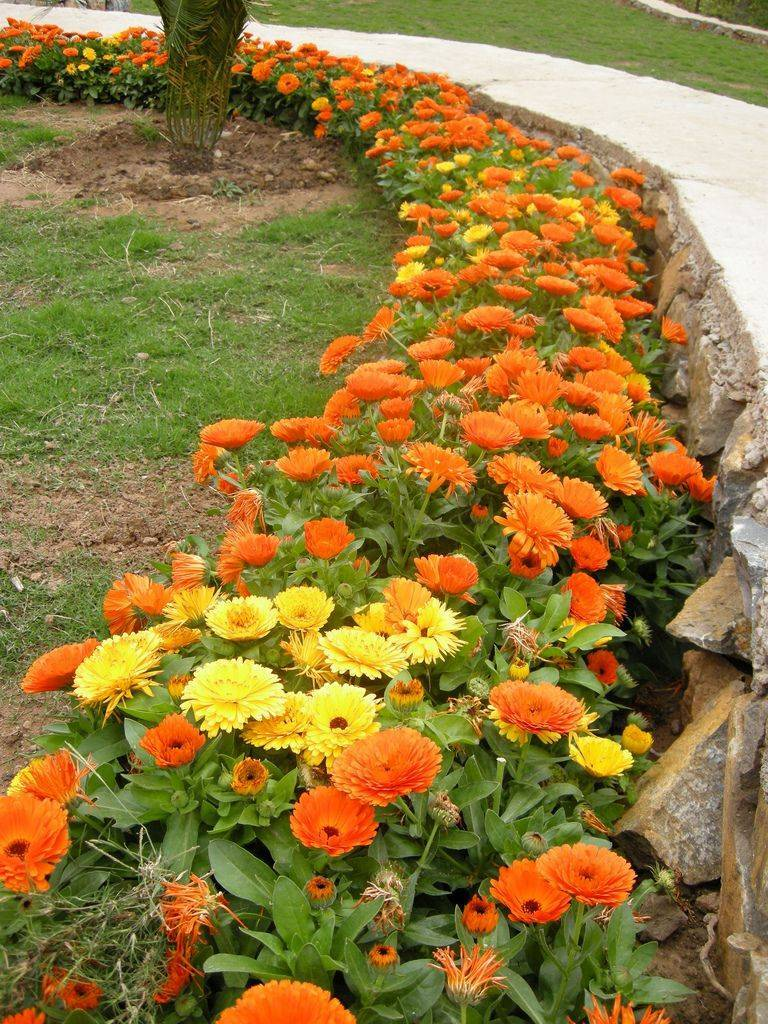 Календула: как выглядит, как и когда сажать семена - энциклопедия цветов