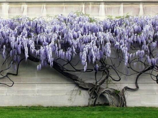 Глициния (52 фото): описание лианы вистерия, размножение многоцветкового декоративного кустарника, обильноцветущая и другие виды