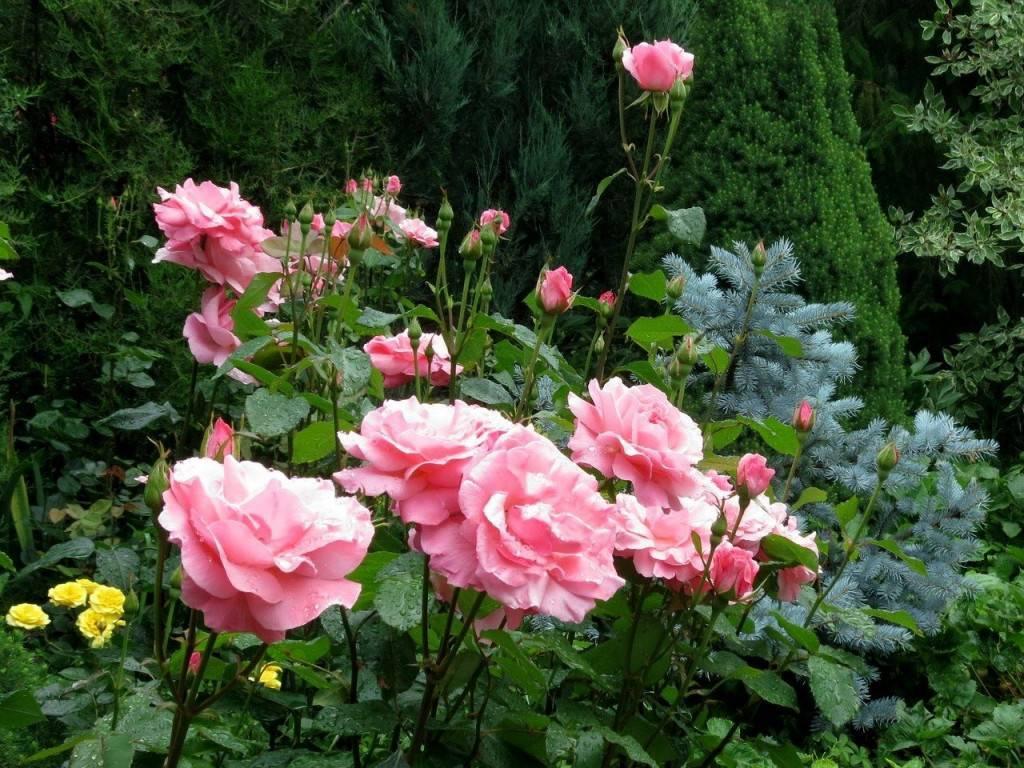 Выращивание чайно-гибридной розы сорта биг перпл и её применение в дизайне сада