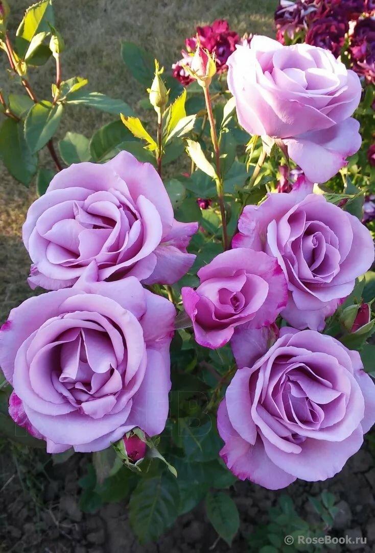 Английский сорт плетистой розы рапсодия ин блю: как ухаживать за голубым цветком