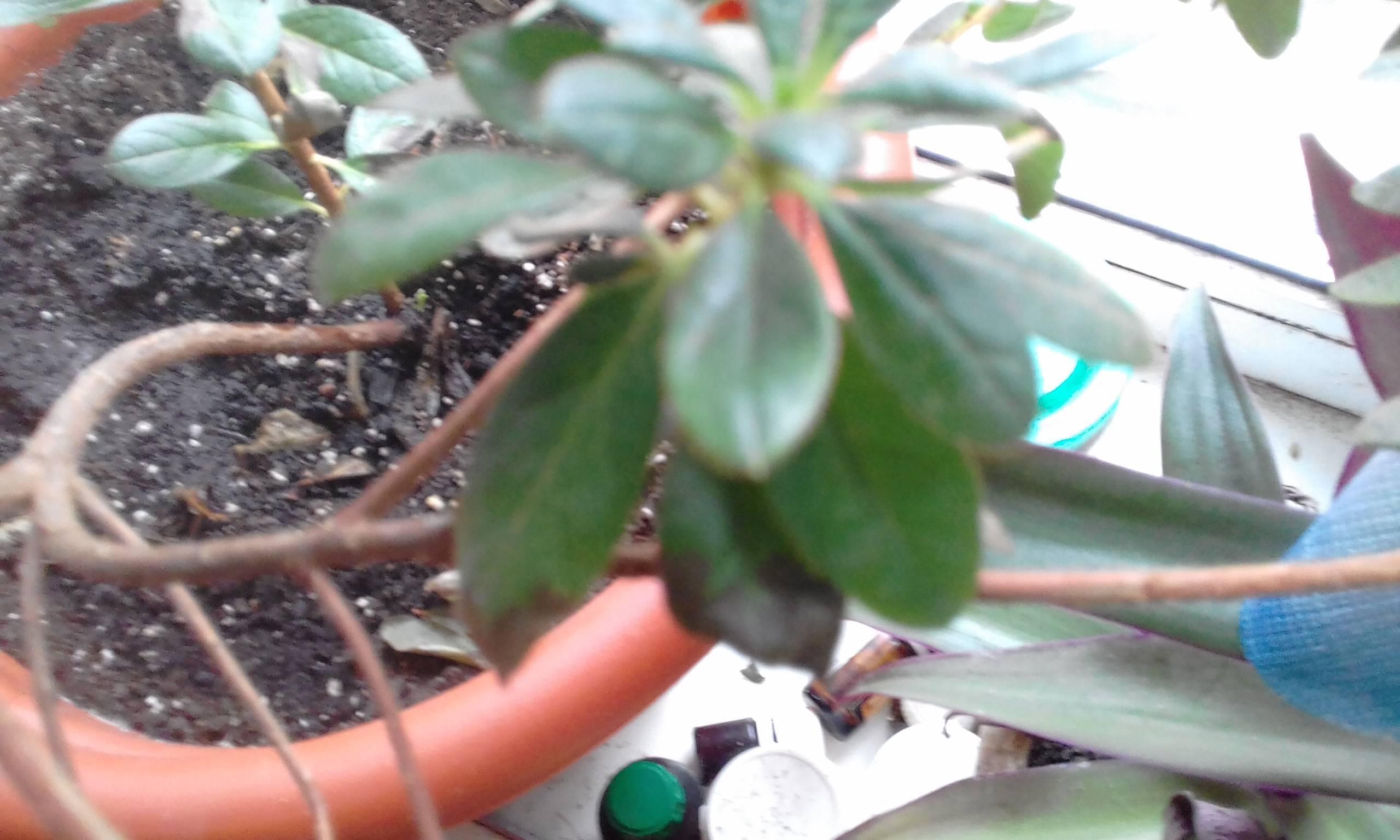 Осыпание азалии: почему сбрасывает листья, цветы и бутоны, что делать, чтобы спасти растение?
