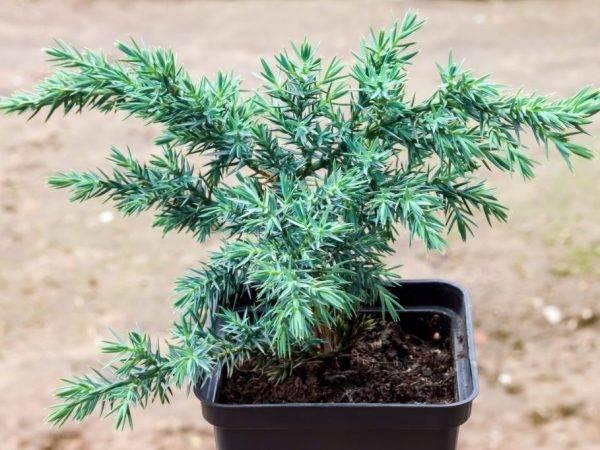 Размножение можжевельника дома — правила и советы от садоводов