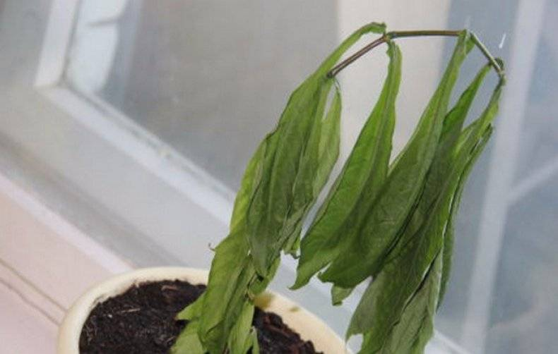 Цветок пахистахис желтый и красный: фото, уход в домашних условиях, размножение пахистахиса