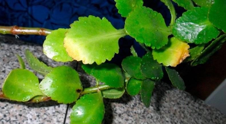 Болезни и вредители каланхоэ: лечение и уход в домашних условиях. почему сохнут и желтеют листья? что делать, если появился белый налет?