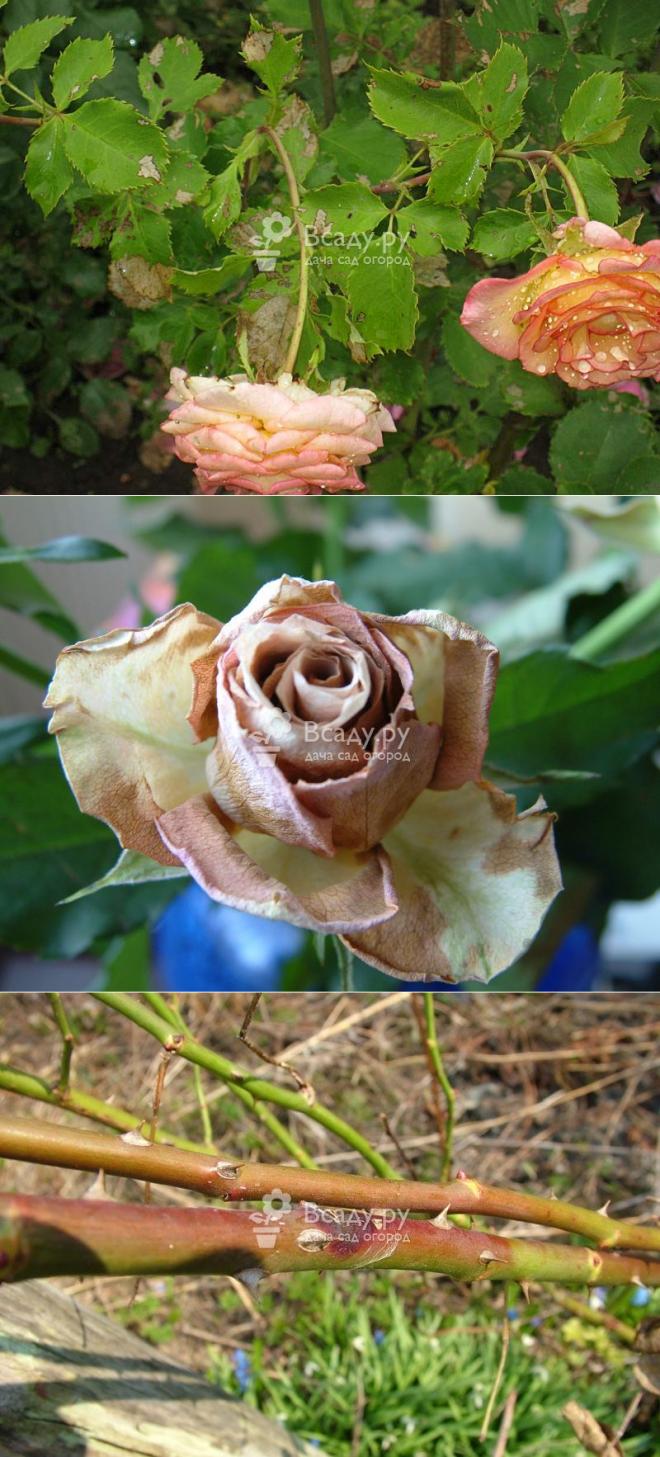 Вредители и болезни роз: описание, способы борьбы, профилактика