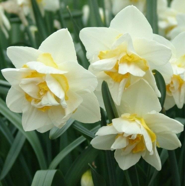 Нарциссы: сорта. большой перечень сортов. правила выращивания