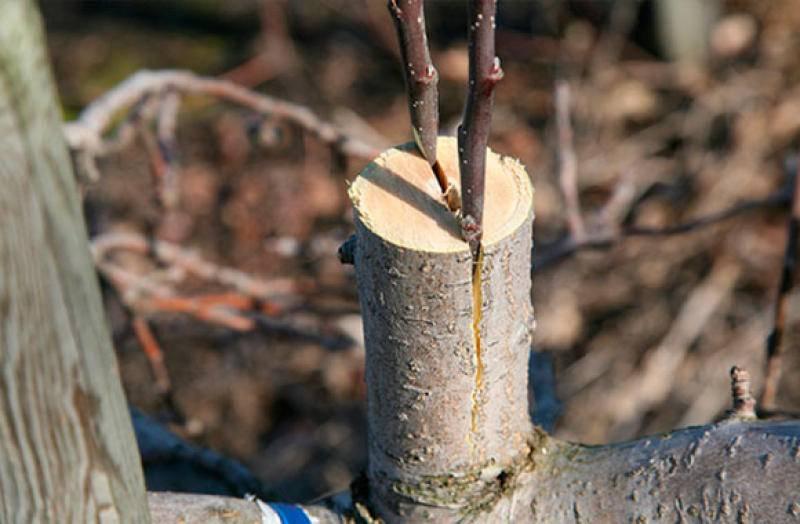 Прививка деревьев весной, способы прививки плодовых деревьев для начинающих - pocvetam.ru