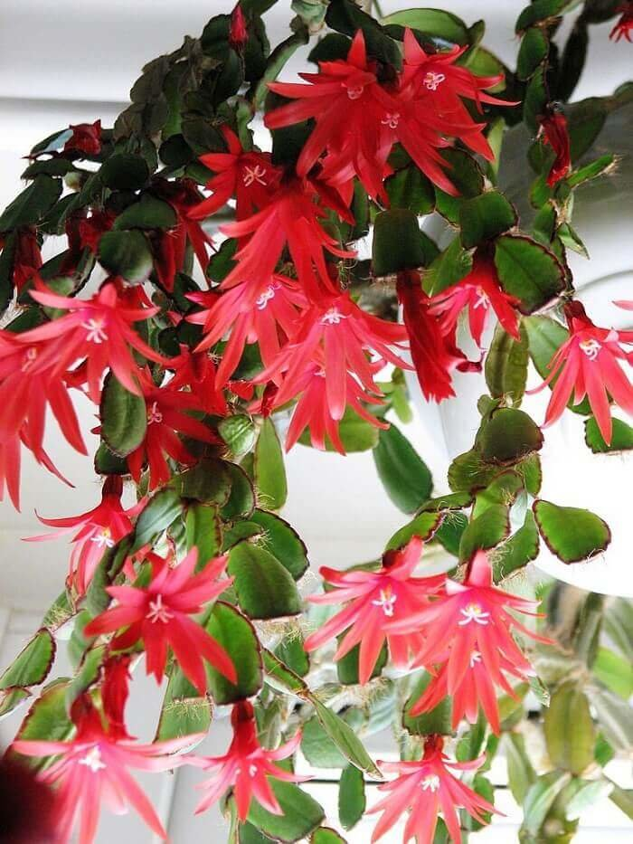 Цветок рипсалидопсис в домашних условиях