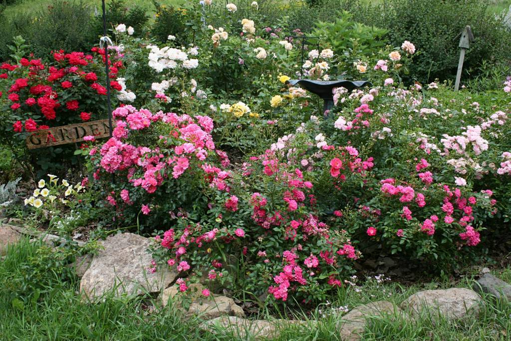 Канадская парковая роза: особенности роз и их достоинства