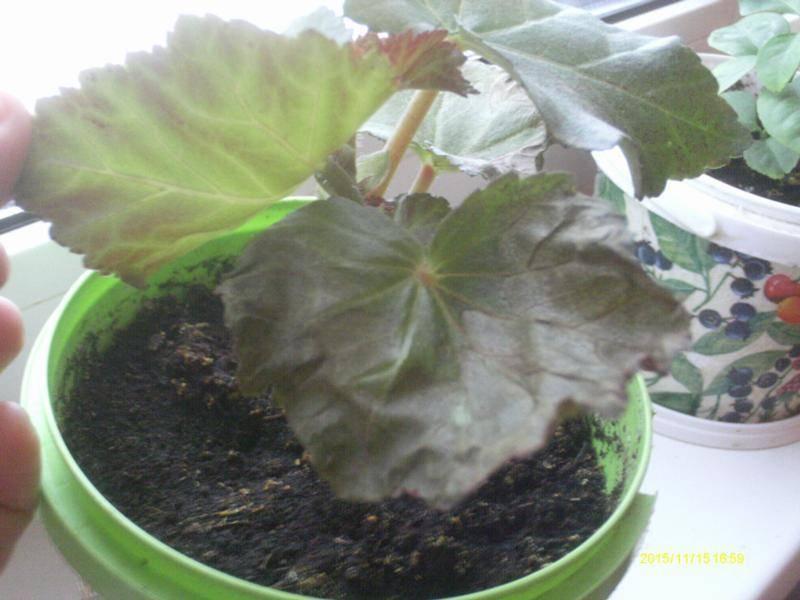 Почему у бегонии сохнут листья по краям и закручиваются?
