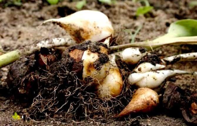 Нужно ли выкапывать гладиолусы после цветения: как правильно хранить луковицы зимой