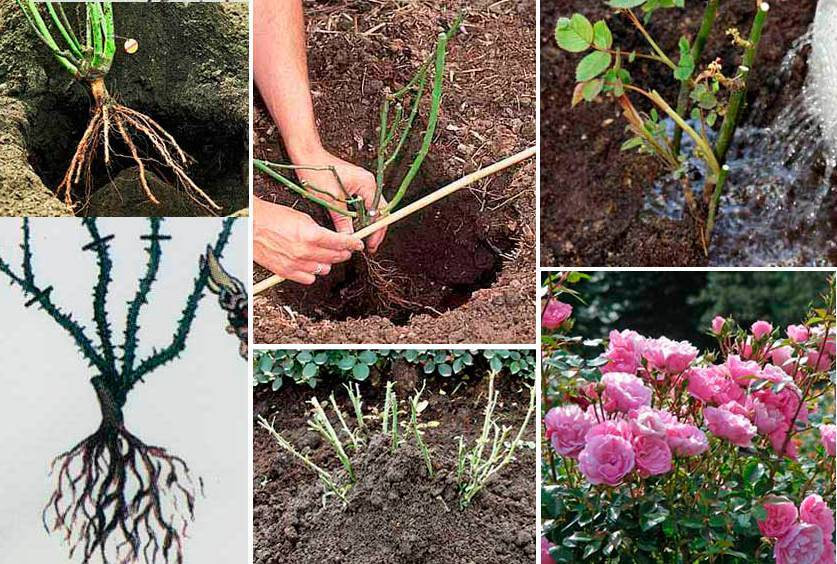 Сорта миниатюрных роз для сада и выращивания в домашних условиях, уход за миниатюрными розами