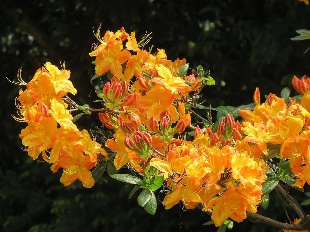 Рододендрон желтый (17 фото): описание сортов «силфидес» и «хоумбуш», посадка и уход