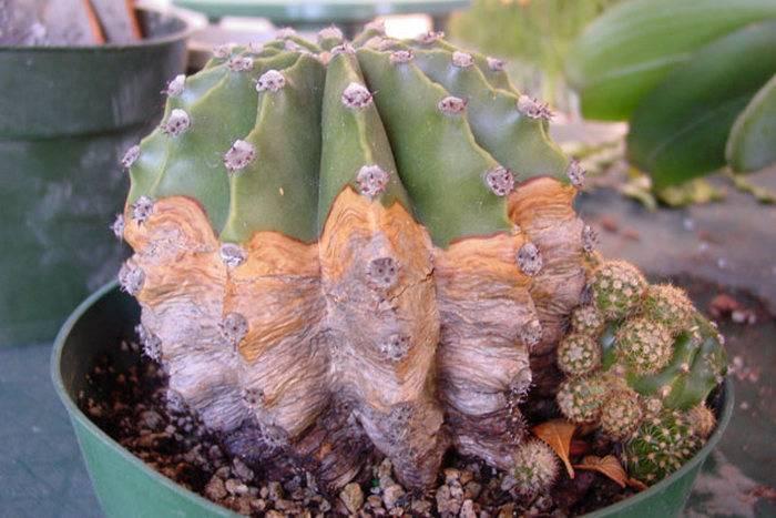Как спасти кактус: как понять, что цветок умирает, почему он засыхает, как оживить, если только начал пропадать, что делать, если уже погибает, как реанимировать?