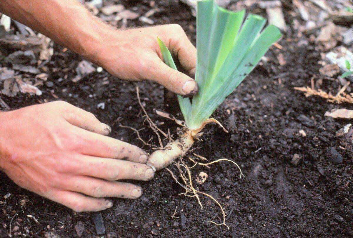 Подкормка лилий: чем удобрять их весной?
