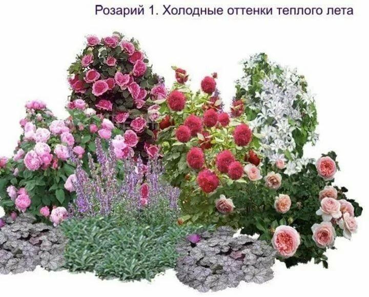 Пионы на клумбе в сочетании с другими цветами: схема посадки, можно ли сажать с розами