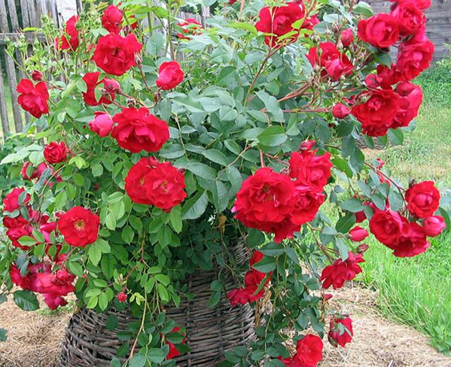 подбирают так, розы парковые сорта фото и описание автомобильный подъемник