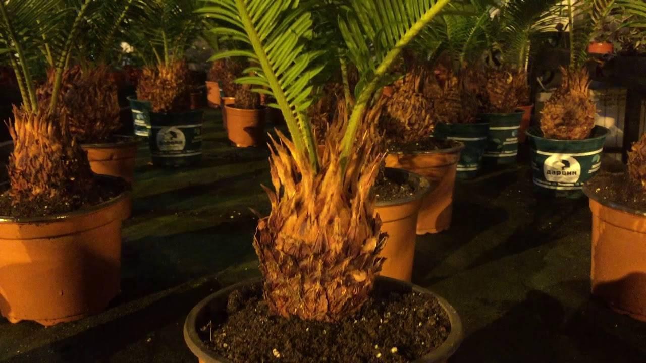 Пальма цикас: уход в домашних условиях, размножение, пересадка, фото