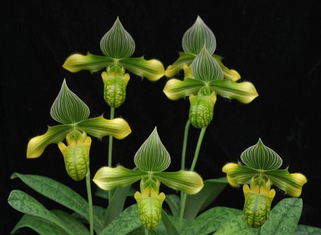 Циприпедиум – венерин башмачок для выращивания в саду