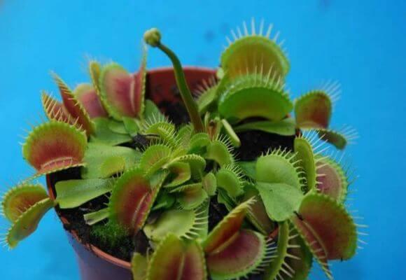 Растение венерина мухоловка — как и чем кормить
