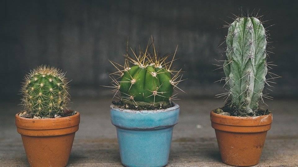 Пересадка кактусов: когда и как, выбор грунта и горшка, уход после