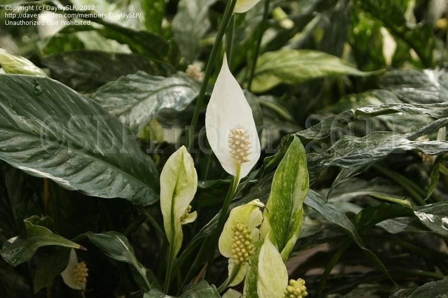 Комнатные цветы спатифиллум: фото, виды, уход и полезные свойства цветка спатифиллум