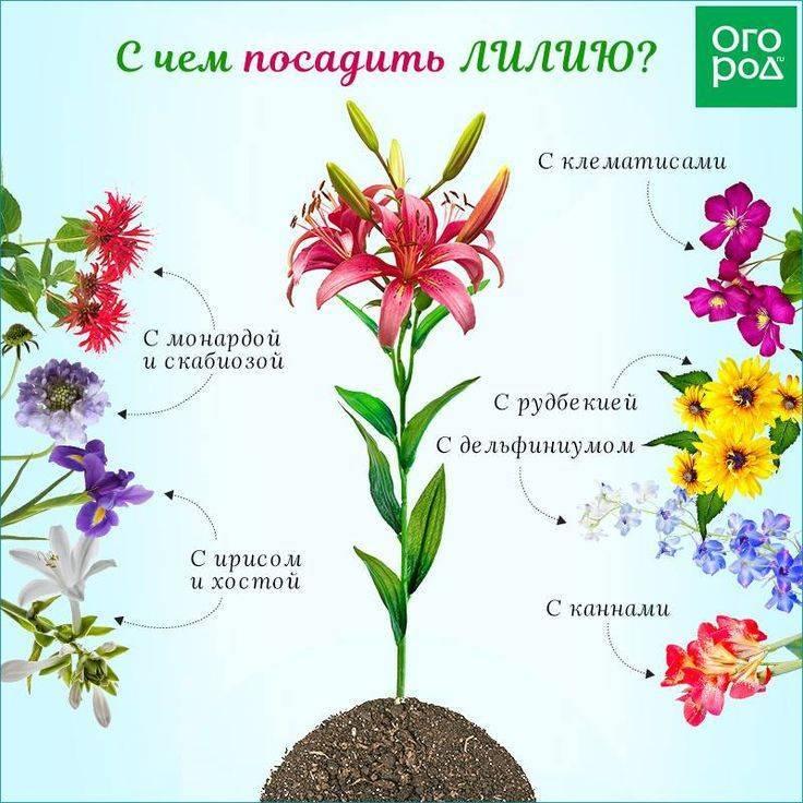 Чем подкормить гладиолусы весной и летом