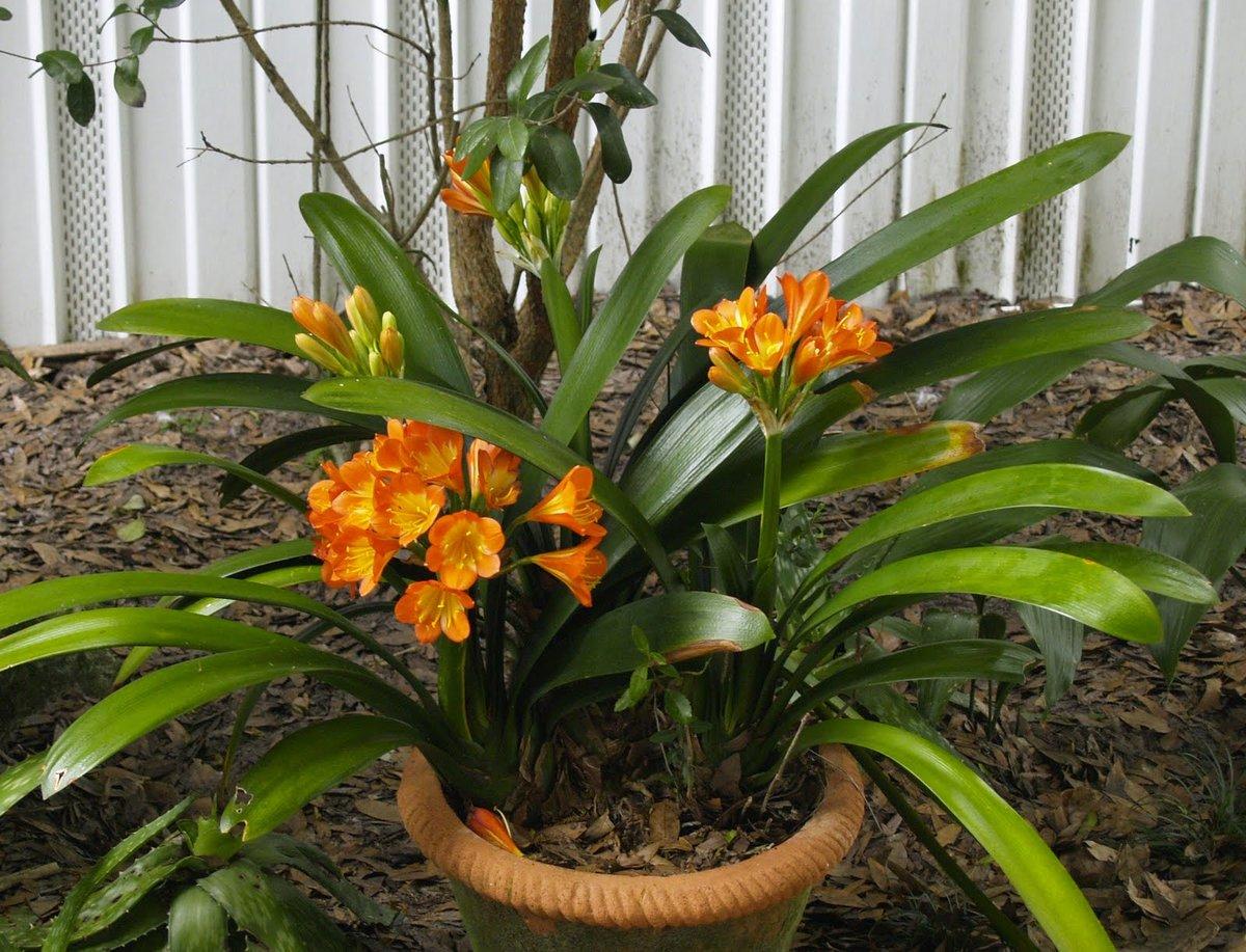 Цветы кливия: уход в домашних условиях, размножение, пересадка
