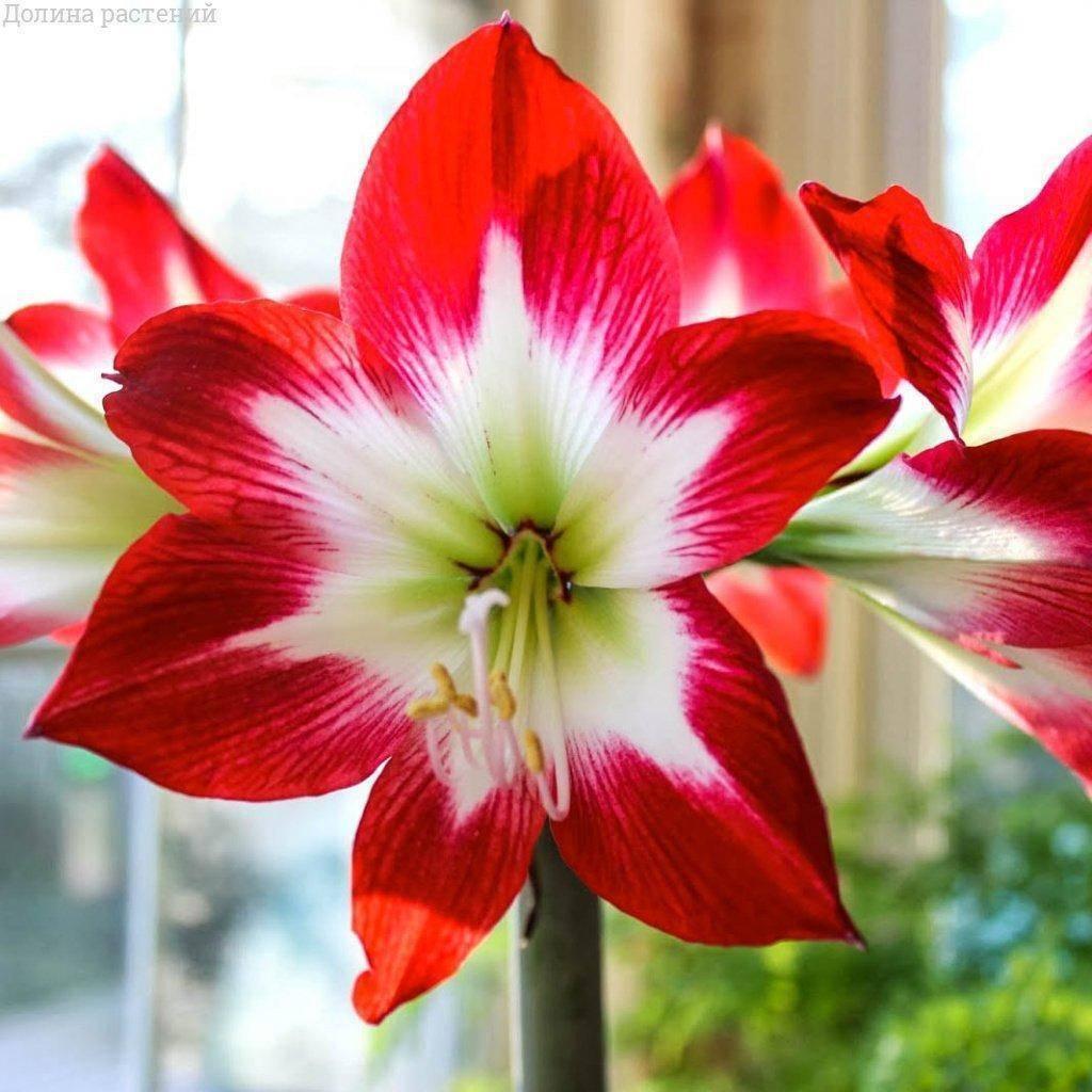 Красивейший комнатный цветок амариллис: уход в домашних условиях за элегантной и неприхотливой луковичной культурой