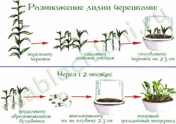 Способы размножения мальвы: черенкование, выращивание из семян, деление куста