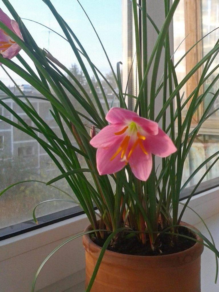 Зефирантес: уход в домашних условиях, посадка в открытом грунте, описание видов цветка «выскочки»: белый, розовый, желтый