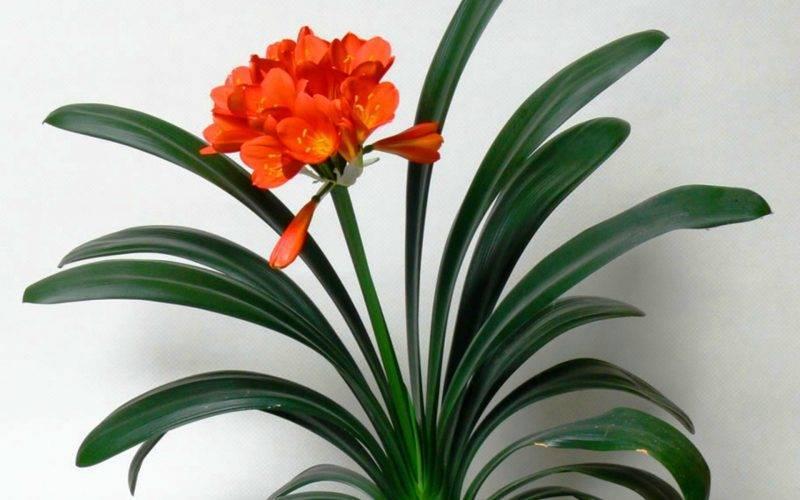Цветок кливия — уход в домашних условиях и выращивание - pocvetam.ru