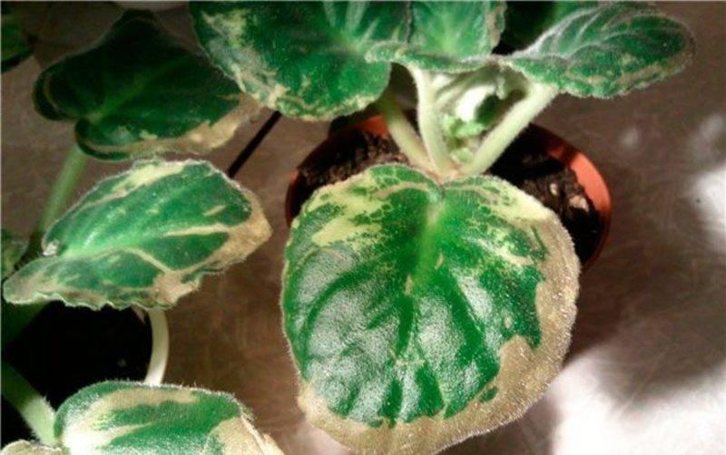 Почему у фиалок чернеют листья: 7 самых частых причин