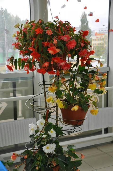 Бакопа ампельная: как выглядит однолетник бакопа и цветок бакопы