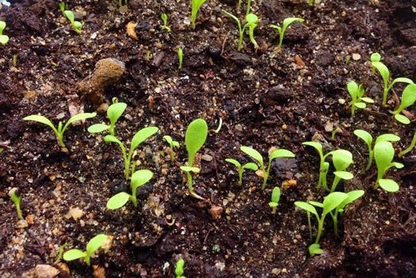 Уход за инжиром в открытом грунте: посадка, выращивание, как поливать, обрезка