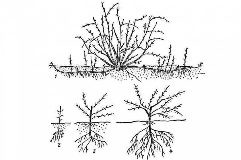 Как укоренить черенок барбариса в домашних условиях. размножение барбариса черенками осенью