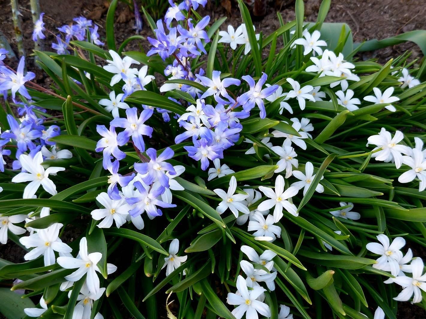 Цветок хионодокса: виды и сорта, посадка и уход