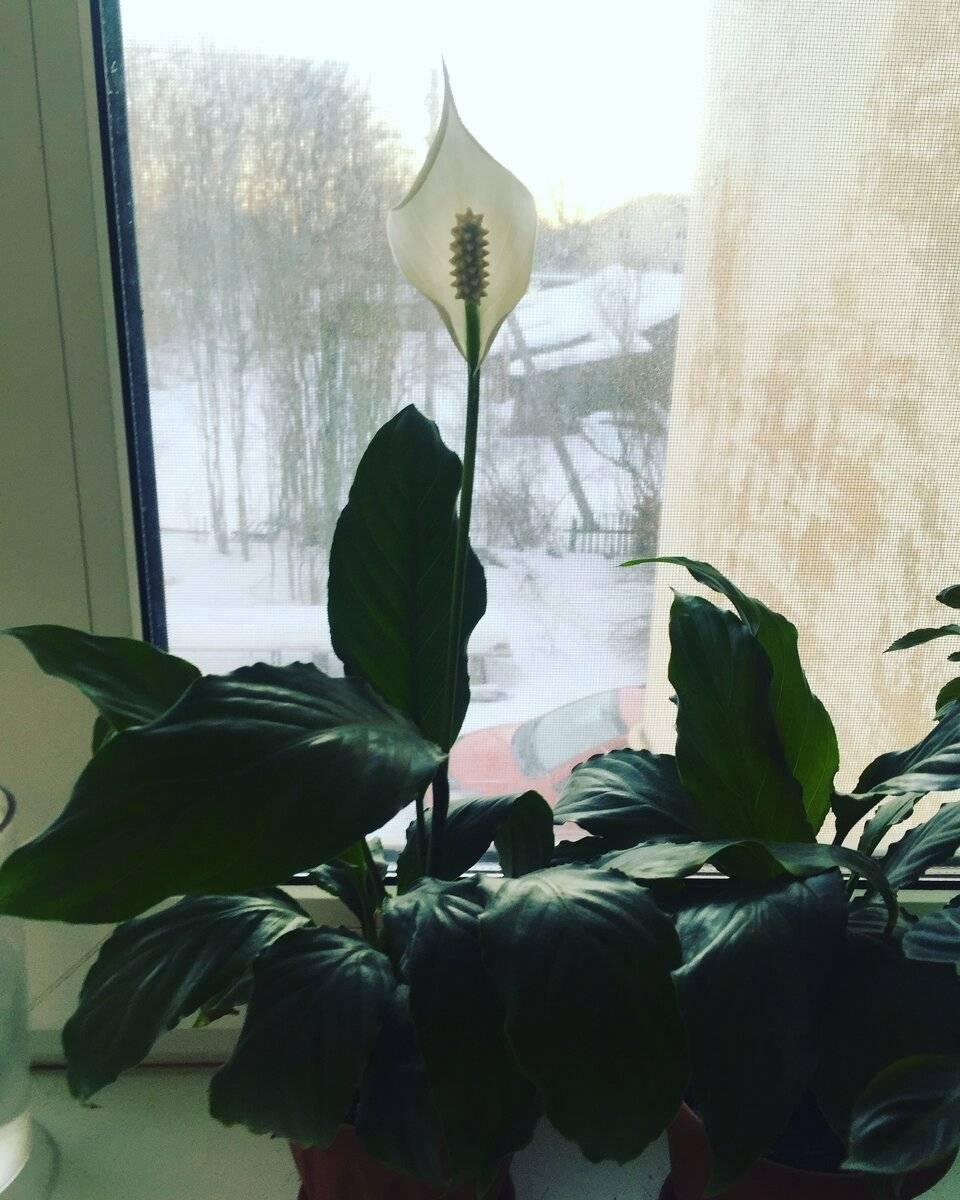 """Почему спатифиллум не цветет в домашних условиях, а растут только листья: причины, по которым у """"женского счастья"""" нет бутонов, что делать по уходу, чтобы выпускало?"""